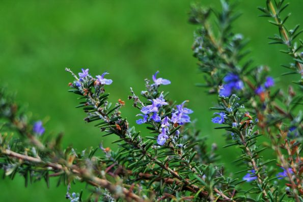 Rosemary-stalks-with-flowers-595x397