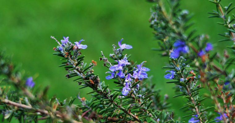 Rosemary-stalks-with-flowers-760x400