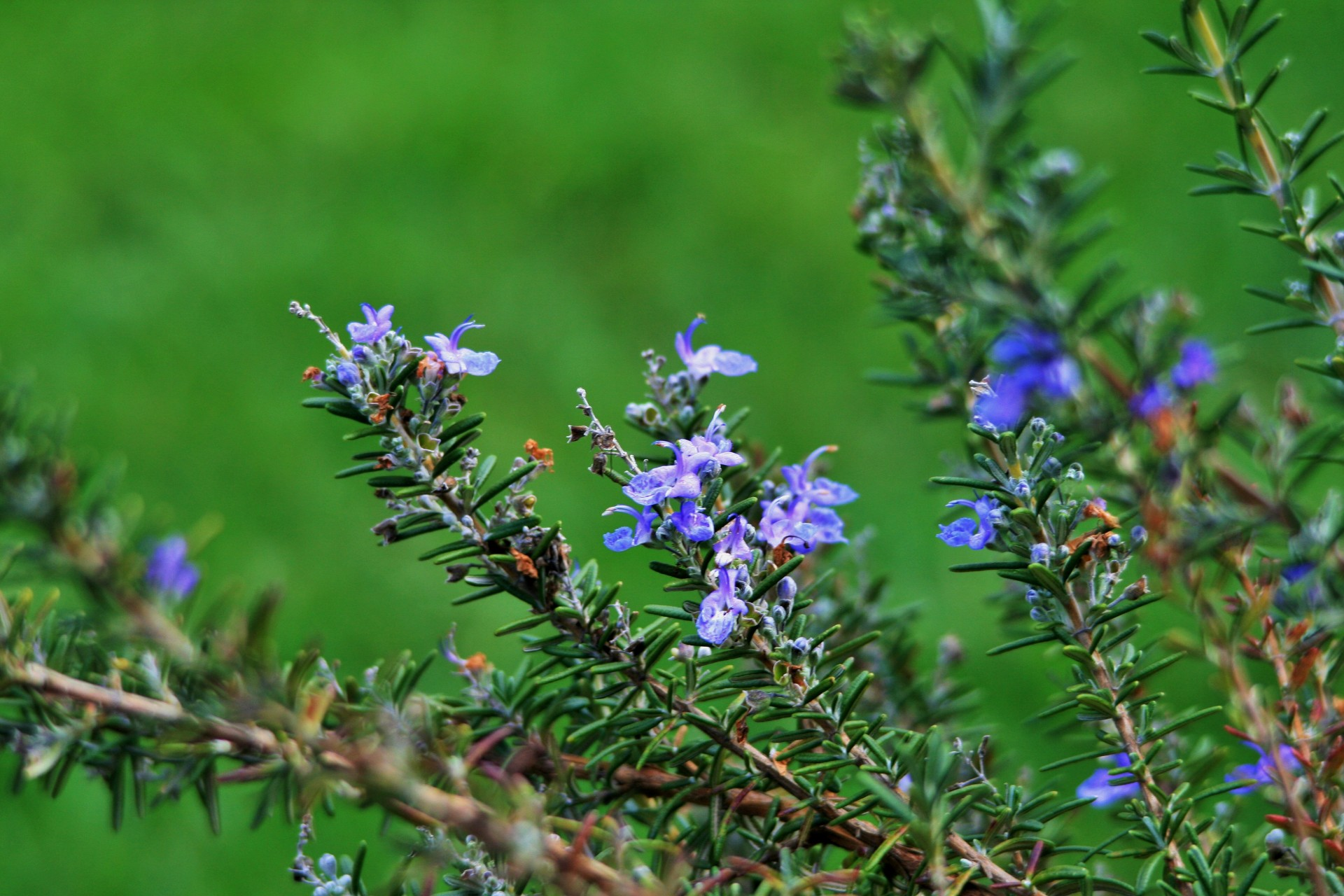 Rosemary-stalks-with-flowers