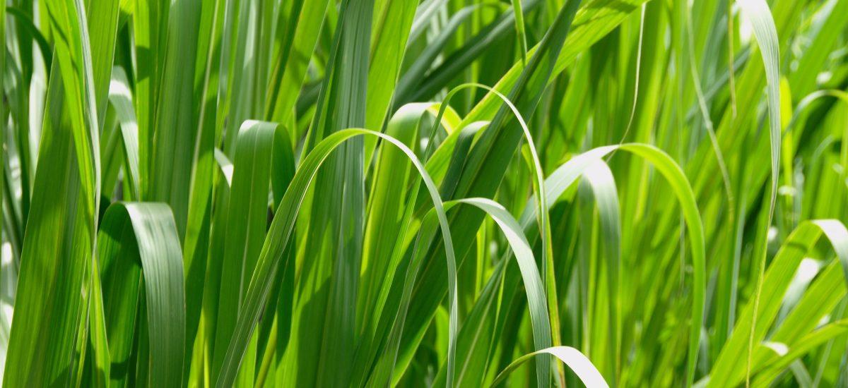 Grass Macro High Resolution-1200x550