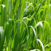Grass Macro High Resolution-180x180