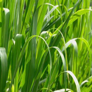 Grass Macro High Resolution-300x300