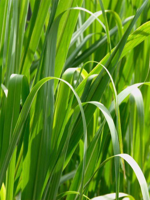 Grass Macro High Resolution-480x640