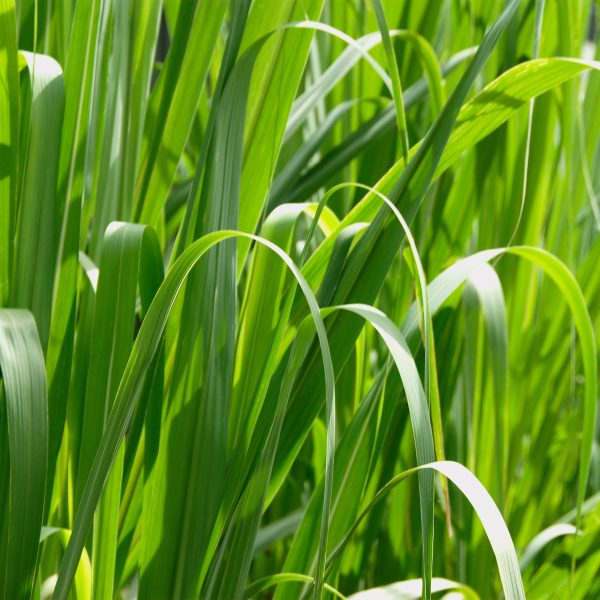 Grass Macro High Resolution-600x600