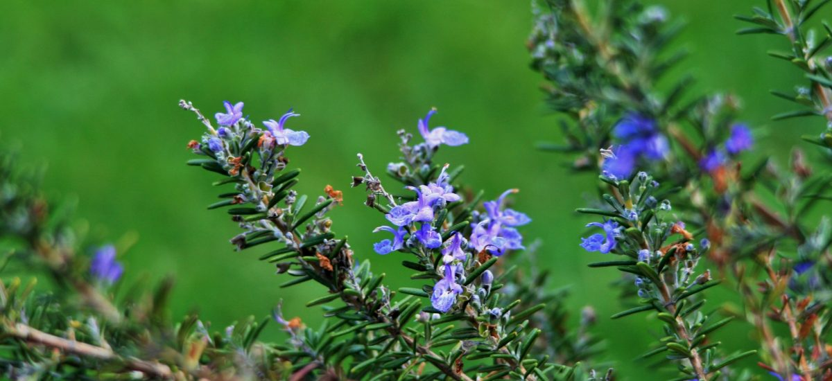 Rosemary-stalks-with-flowers-1200x550