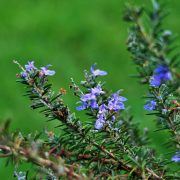 Rosemary-stalks-with-flowers-180x180