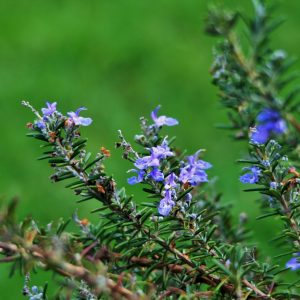 Rosemary-stalks-with-flowers-300x300