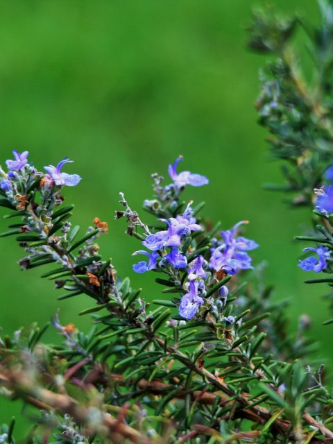 Rosemary-stalks-with-flowers-480x640