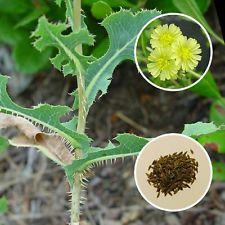 Wild Lettuce (Opium lettuce)